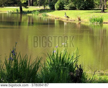 Southern bayou with wild purple irises and geese perched on the shore