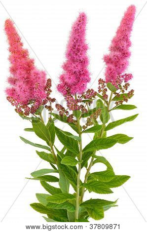 Bouquet of astilbe flowers isolated on white background poster