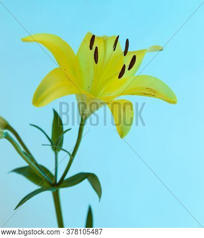 A Yellow Asiatic Lily Lillium Flower With Green Stem And Leaves On A Blue Background.