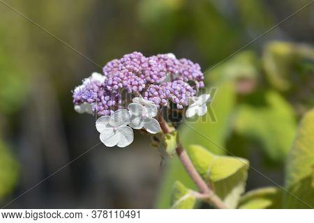 Large-leaved Scabrous Hydrangea - Latin Name - Hydrangea Aspera Macrophylla