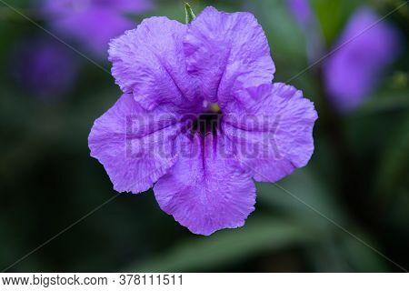 Purple Ruellia Tuberosa Flower Blossom In The Spring Garden Background