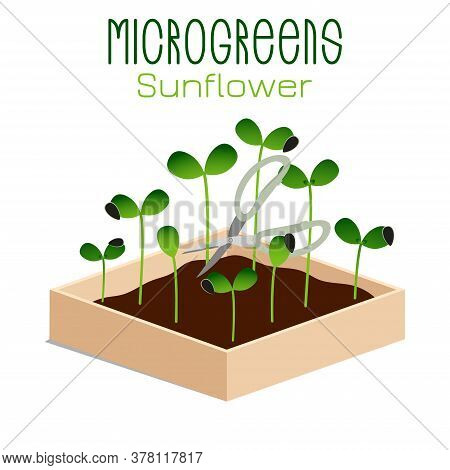 Microgreens Sunflower. Sprouts In A Bowl. Sprouting Seeds Of A Plant. Vitamin Supplement, Vegan Food