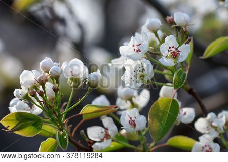 Beautiful Pear Blossoms On A Blurry Background