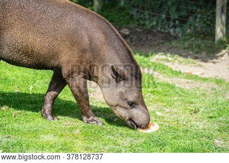 South American Tapir, Tapirus Terrestris, Also Called Brazilian Tapir, Amazonian Tapir, Maned Tapir,