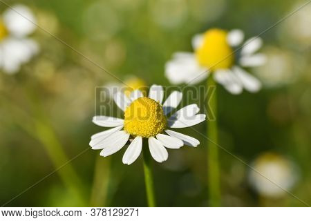 Chamomile. Chamomile Field In Bloom, Chamomile Flowers On A Meadow Close -up