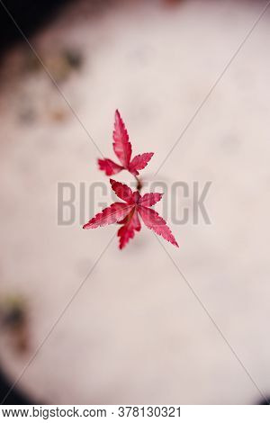 Close-up Of Tiny Red Maple Plant Outdoor In Sunny Backyard Shot At Shallow Depth Of Field