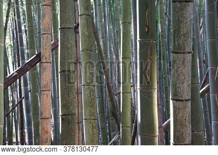 The Surface Of The Bamboo Of The Much Bamboo Forest