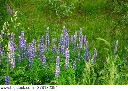 Beautiful Blooming Blue And Pink Lupine In The Meadow