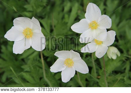 Group Of Amazing Flowers With Snow-white Petals And Light Yellow Stamens.