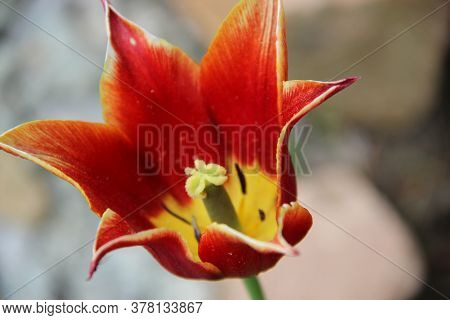 Amazing Flower Bud With Bright Brown Petals Of Triangle Shaped And Yellow Core With Green Stamens. C