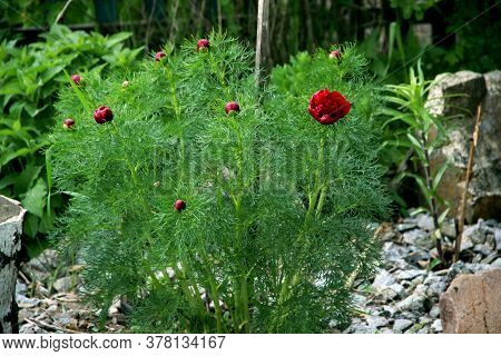 Vibrant Red Flowers On Sturdy Stems Surrounded By Green Leaves Like A Conifer Needles.