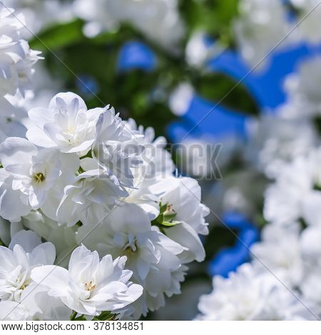 White Terry Jasmine Flowers In The Garden Against Blue Sky. Floral Background