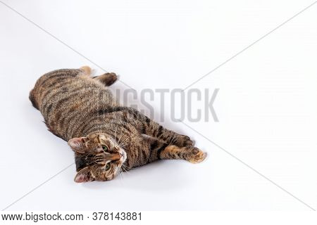 Portrait Of Little Mongrel Cat Of Tabby Color Lying Down On White Background. Playful Kitten With Gr