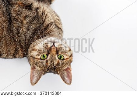 Portrait Of Little Mongrel Cat Of Tabby Color Lying On White Background With Head Turning Upside Dow