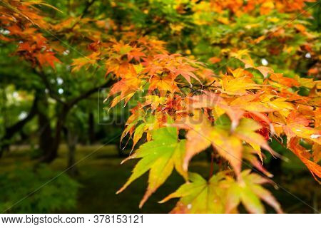 Saturated Orange And Yellow Maple (acer) Autumn Leaves In Kenroku-en Park In Kanazawa, Japan, Novemb