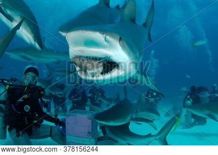NASSAU, BAHAMAS - CIRCA JUNE 2019: Shark feed. Scuba diver feeding Caribbean Reef Sharks for tourist industry