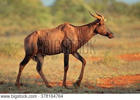 Rare tsessebe antelope (Damaliscus lunatus) in natural habitat, Mokala National Park, South Africa