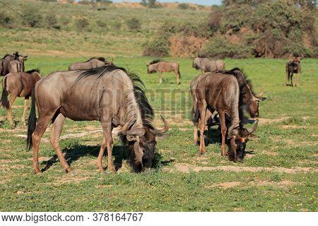 Herd of blue wildebeest (Connochaetes taurinus) grazing in natural habitat, Kalahari, South Africa
