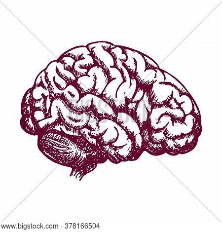 Brain Retro Anatomic Etching. Anatomical Brains Old Drawing Sketch Or Anatomy Engraving With Human M