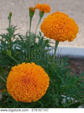 Beautiful Bud Of Flowering Decorative Orange Yellow Flowers Tagetes Patula Orange Boy On A Flowerbed