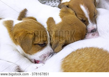 Cute Jack Russell Terrier Puppies Will Moisten Milk From Their Mother's Knitted Bedspread, Home Comf