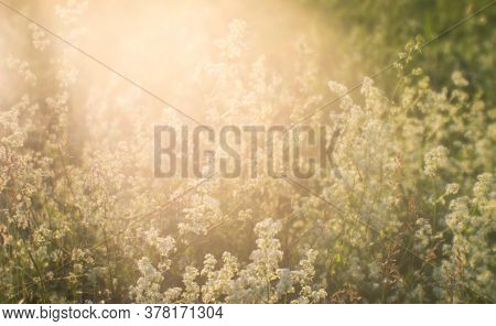 Blur. Summer Meadow With Fluffy White Flowers In The Flow Of Natural Sunlight. Background