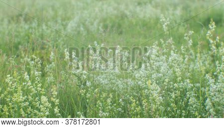 Blur. Summer Green Meadow With Fluffy White Flowers In The Morning Sun. Background