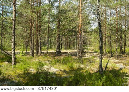 Majestic Green Pine Tree Forest, Deep Natural Forest In Belarus