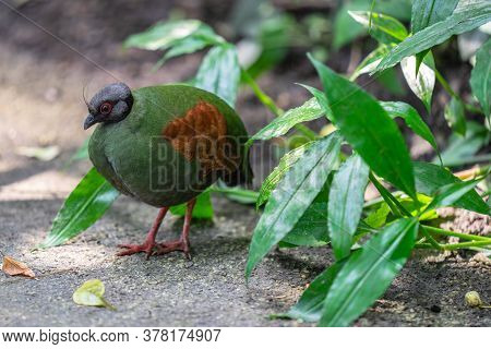 The Crested Partridge, Rollulus Rouloul, Also Known As The Crested Wood Partridge, Roul-roul, Red-cr