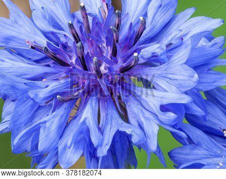 Extreme Close-up Of Blue Cornflower, Centaurea Cyanus, Blossom
