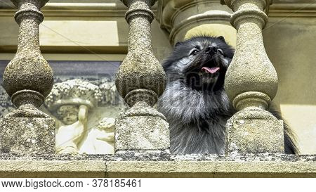 Keeshond Is A Medium-sized Dog With A Plush, Two-layer Coat Of Silver And Black Fur With A Ruff And