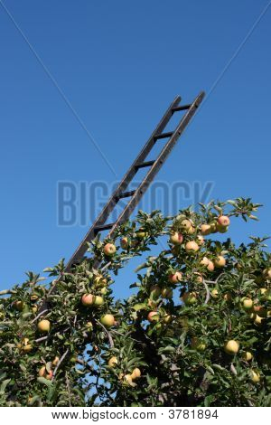 Harvest Ladder