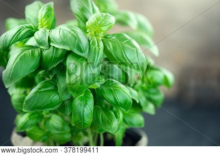 Close-up of fresh basil leaves in a bowl on dark rustic wooden table Green flavoring outdoor. Fresh Basil. Nature healthy. Condiment concept. Mediterranean, Italian cuisine.