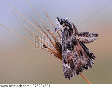 Butterfly Skippers Are A Family Hesperiidae In The Dew Dries Their Wings