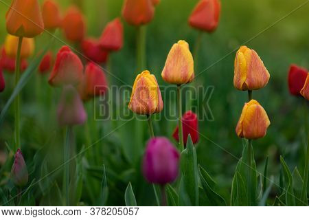 Mix Of Spring Tulips Flowers. Mixed Color Tulips In Garden