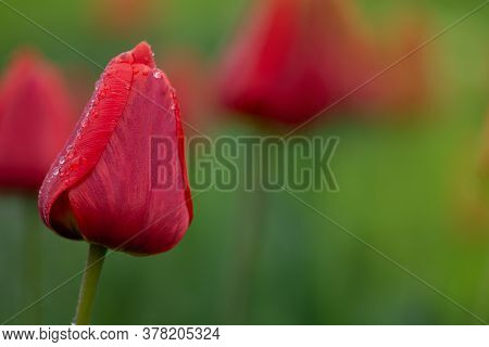 Tulips Red Growing In A Flower Bed. Spring Flowers Red Tulips