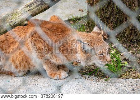The Eurasian Lynx Resting In An Aviary. The Eurasian Lynx, Lat. Lynx Lynx, Is A Medium-sized Wild Ca