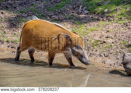 Red River Hog Walking Along The Edge Of A River