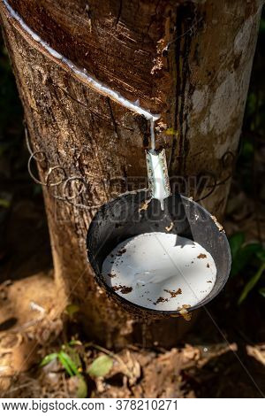 Natural Rubber Latex, Rubber Extraction From Hevea Wood. White Milky Juice Latex From Hevea Flows Fr