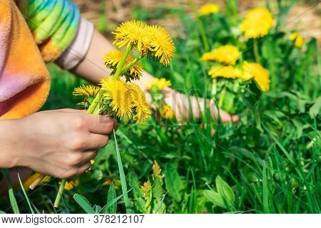Hands Of A Girl Who Collects Yellow Dandelion Flowers In A Bouquet In A Meadow On A Warm Sunny Summe