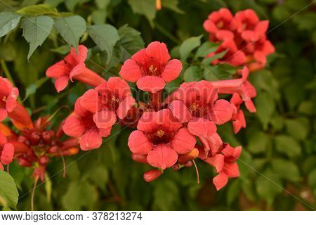 Beautiful Red Flowers Of The Trumpet Vine Or Trumpet Creeper Campsis Radicans. Campsis Flamenco Brig