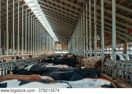 Cows For Milking In Farm. Dairy Cows In Modern Bar In Dairy Farm Cowshed.