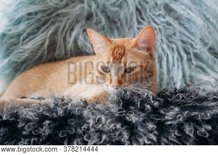 Cute Red Cat Lying On Colored Animals Fur. Concept Of Adorable Pets. Portrait Adorable Domestic Cat.