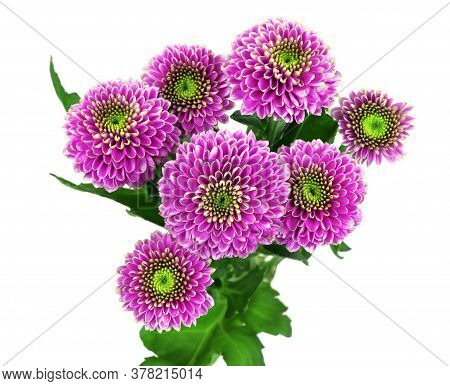 Chrysanthemum Isolated On A White Background. Bouquet Of Purple Chrysanthemum Flowers. House Flowers
