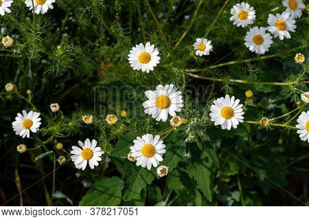 Beautiful Field Of Camomiles On Sunny Day In Nature Closeup. Daisy Flowers, Wildflowers, Spring Day.