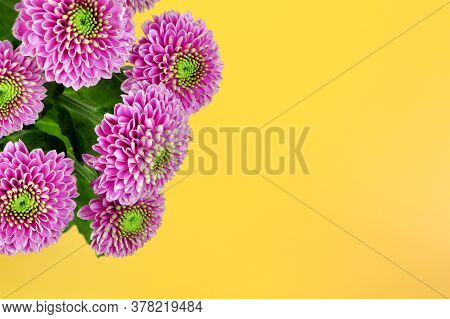 Chrysanthemum Isolated On A Yellow Background. Bouquet Of Purple Chrysanthemum Flowers. House Flower