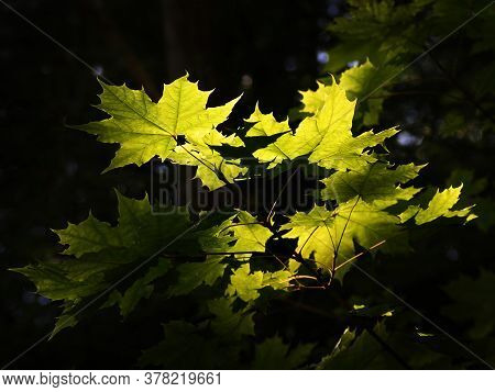 A Cluster Of Leaves Backlit By The Sun
