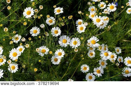 Beautiful Bouquet Of Camomiles On Sunny Day In Nature Closeup. Daisy Flowers, Wildflowers, Spring Da
