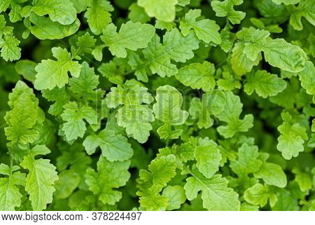 Sinapis Alba L. Seedlings Top View, Green Manure Crop In Garden