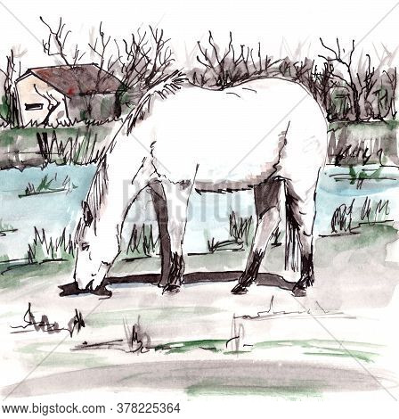 White Horse From Camargue In The South Of France Grazes Near A Pond, Graphic Watercolor Drawing, Tra
